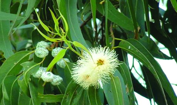 Respire  profundamente com eucalipto glóbulus