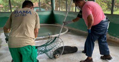 Lobo-marinho chega à Ubatuba para reabilitação no Instituto Argonauta