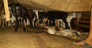 Transporte irregular de cabras na Fernão Dias gera multa de mais de 1 milhão